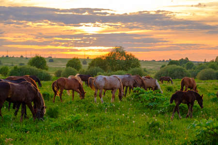 Horses are grazing in the meadow at sunset Stock Photo