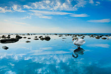 Swan in the sea landscape Stock Photo