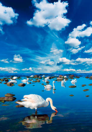 Swans in the sea landscape with beautiful sky above