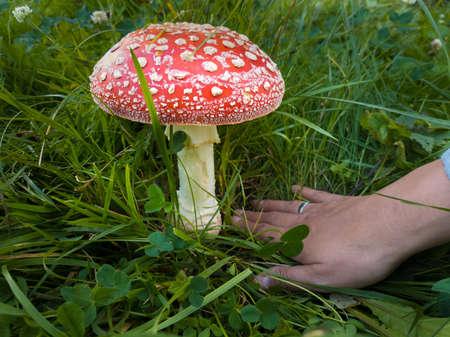 Bid amanita mushroom in the grass
