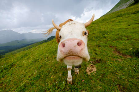 Funny portrait of a cow muzzle close-up on an alpine meadow in Switzerland