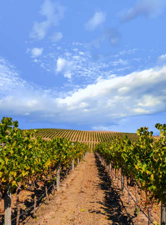 Vineyard landscape with blue cloudy sky