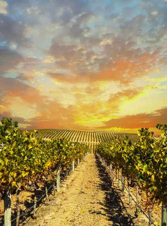 Krajobraz winnicy w dolinie Napa o zachodzie słońca