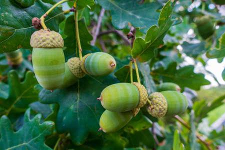 green acorns on the branch macro 版權商用圖片