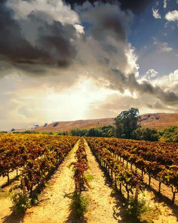 Vineyard landscape at Napa valley at sunset