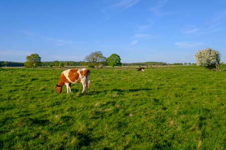 Cow grazes on a meadow at the summer time