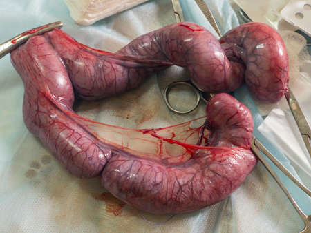 Festering womb of a cat after vet surgery