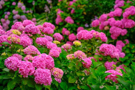 Blooming pink hortensia flowers in garden at summer