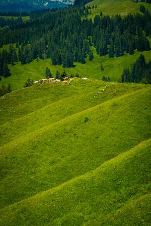 Small herd of cows graze in the Alpine meadow in Switzerland