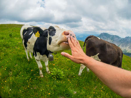 POV cow licks male hand at mountain pasture in Switzerland