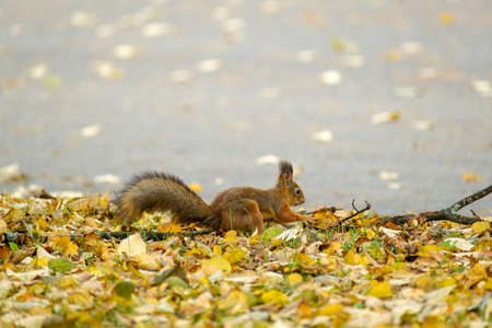 Squirrel runs on leaves in the park 写真素材