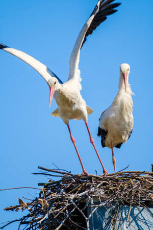 Couple of graceful storks in nest