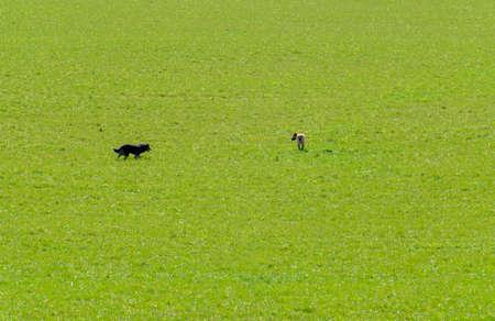 Dogs walking in green field