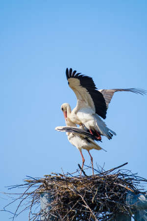 Storks mating in nest against blue sky