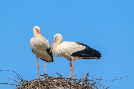 Storks standing in nest on sunny day in summer Stockfoto