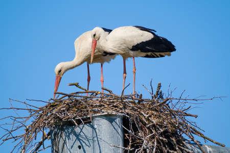 Couple of storks building nest together