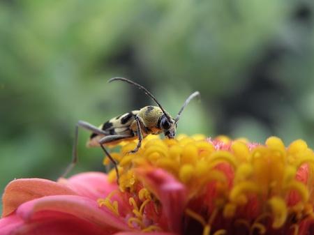 longhorn beetle: longhorn beetle  Stock Photo