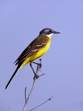 wagtail: Yellow wagtail. wagtail, nature, wildlife, bird, yellow,