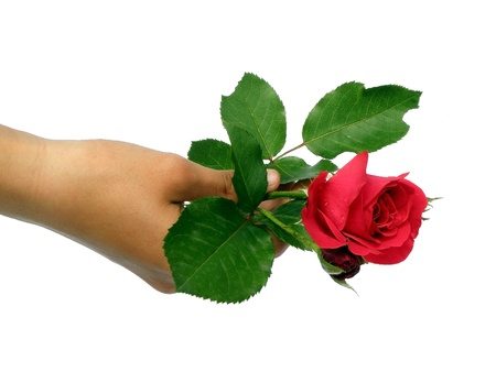 A beautiful single rose held in the hand  photo