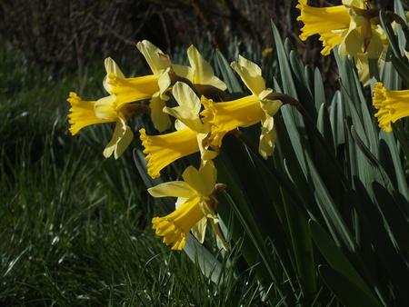 jardines flores: Narciso amarillo (narciso pseudonarcissus) jardines de flores de primavera.