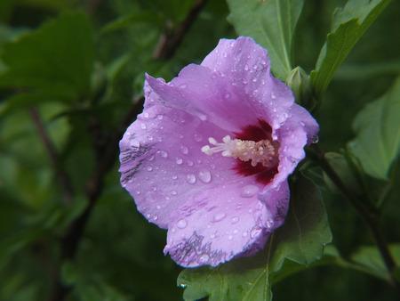shrub: Shrub Mallow (Hibiscus syriacus)