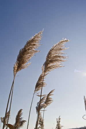 bullrush: Common reed (Phragmites australis) on the waterfront.