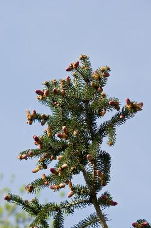 pinus sylvestris: Scots pine (Pinus sylvestris) pollen spray flowers.