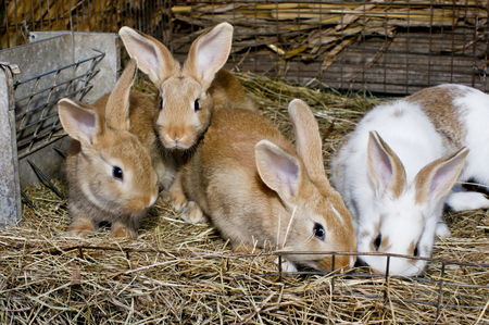 tame: Interested tame domestic rabbits in a cage. Stock Photo