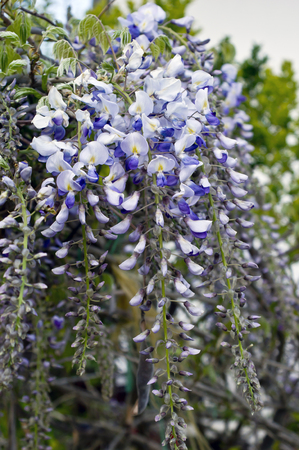 twining: The wisteria (Wisteria sinensis) bloom in spring Stock Photo