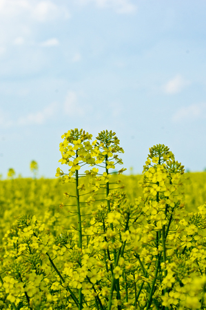 napus: The rapeseed (Brassica napus) field yellow spring.