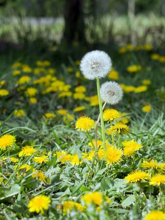 taraxacum: Dandelion (Taraxacum officinale) on wild flower garden.