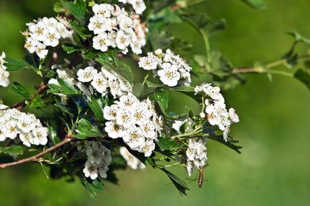 The hawthorn shrubs (Crataegus oxyacantha) flower healing. photo