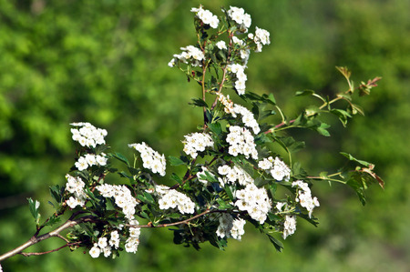 shrubs: The hawthorn Crataegus oxyacantha shrubs flower healing. Stock Photo