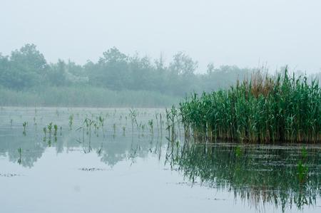 phragmites: Water common reed Phragmites australis on the waterfront ..