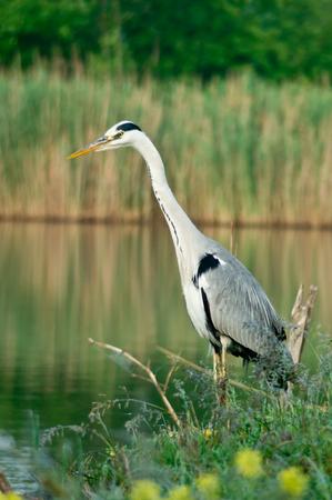 wade: Blue Heron Ardea cinerea in the reeds.