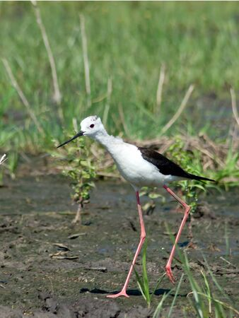 himantopus: Black-winged Stilt (Himantopus himantopus) in the water. Stock Photo