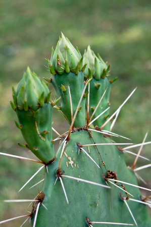 opuntia: Prickly pear (Opuntia) buds in the garden
