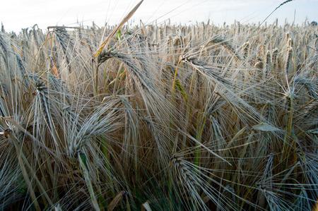 harvests: The mature before winter barley (Hordeum vulgare L.) harvests.