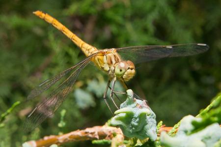 odonata: Dragonfly (Odonata) les prey among the Thuja