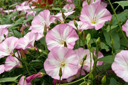 convolvulus: Bindweed Convolvulus arvensis pink flower in the garden.