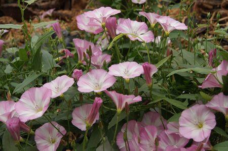 cerambycidae: Bindweed (Convolvulus arvensis) pink flower in the garden.