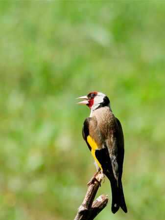 photgraphy: Young Goldfinch (Carduelis carduelis) sitting on the branch.