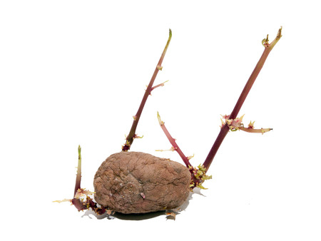 germinate: The long stored potatoes are often germinate. Stock Photo
