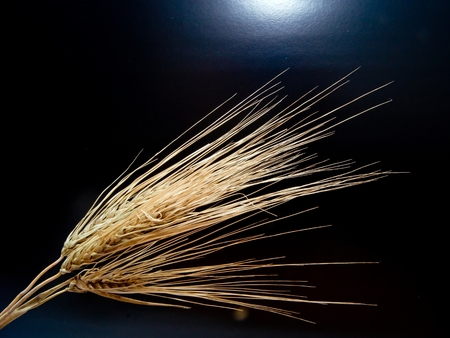 barley head: In the summer of ripe barley ear.