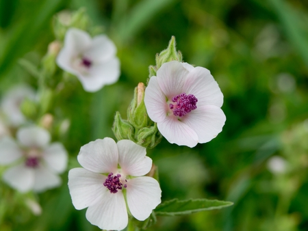 natural process: Marshmallow (Althaea officinalis) is a natural healing process.