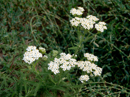collina: The wild yarrow (Achillea collina) herbal medicine as well. Stock Photo