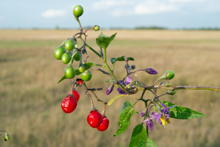 enticing: Red nightshade (Solanum dulcamara) can be used for healing.