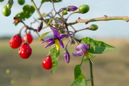 deceptive: Red nightshade (Solanum dulcamara) can be used for healing.
