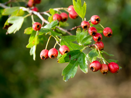trees with thorns: Fruit of hawthorn (Crataegus laevigata) at the end of the summer.