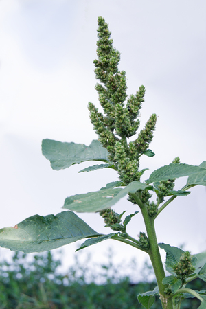 amaranthus: The pigweed (Amaranthus retroflexus) is a common garden weed.